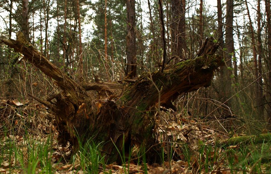 1c659b6efd2827 Północną cześć Puszczy Niepołomickiej stanowi kompleks liściasty o lasowych  typach siedliskowych. Część ta podzielona jest na trzy odrębne uroczyska.